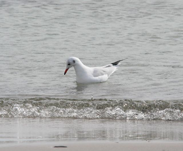 black head gull 01