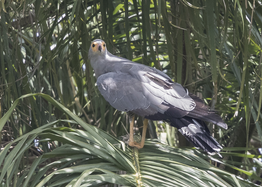 African Harrier Hawk   The Gambia 2016