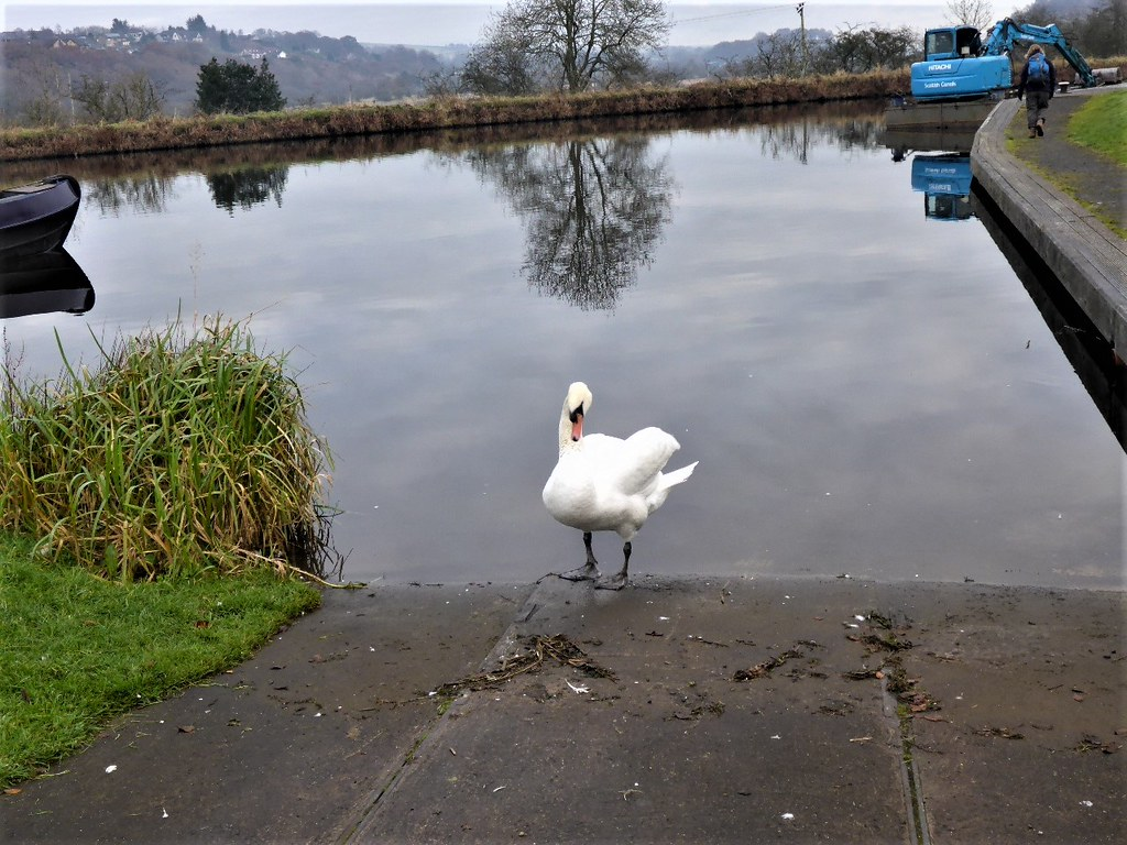 Swan on Forth & Clyde Canal, Scotland
