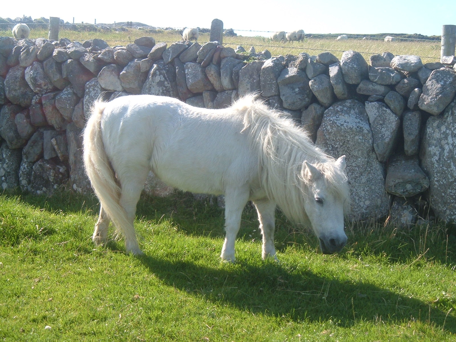 A pony, on the way to Three Castle Head