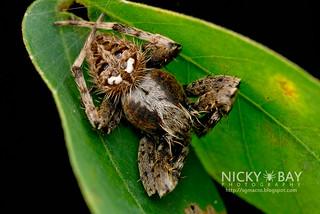 Orb Web Spider (Neoscona vigilans) - DSC_4824