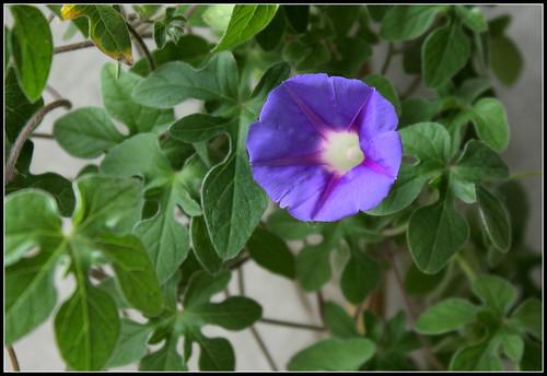 Ipomoea sp., Kruger's Park, RSA - ipomée du parc Kruger 30478099606_1b0829d20d