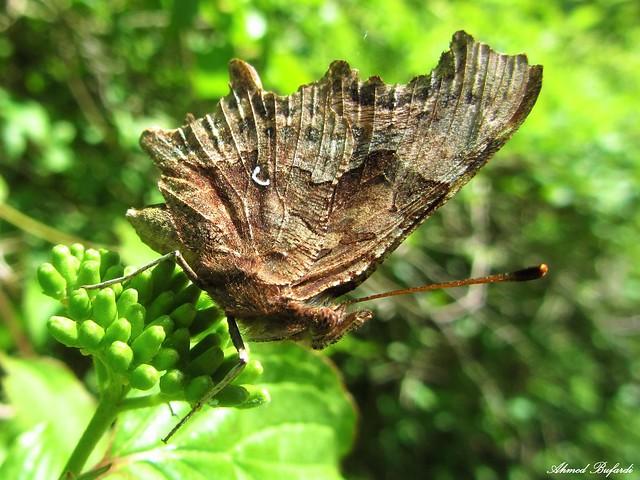 Butterfly 1086