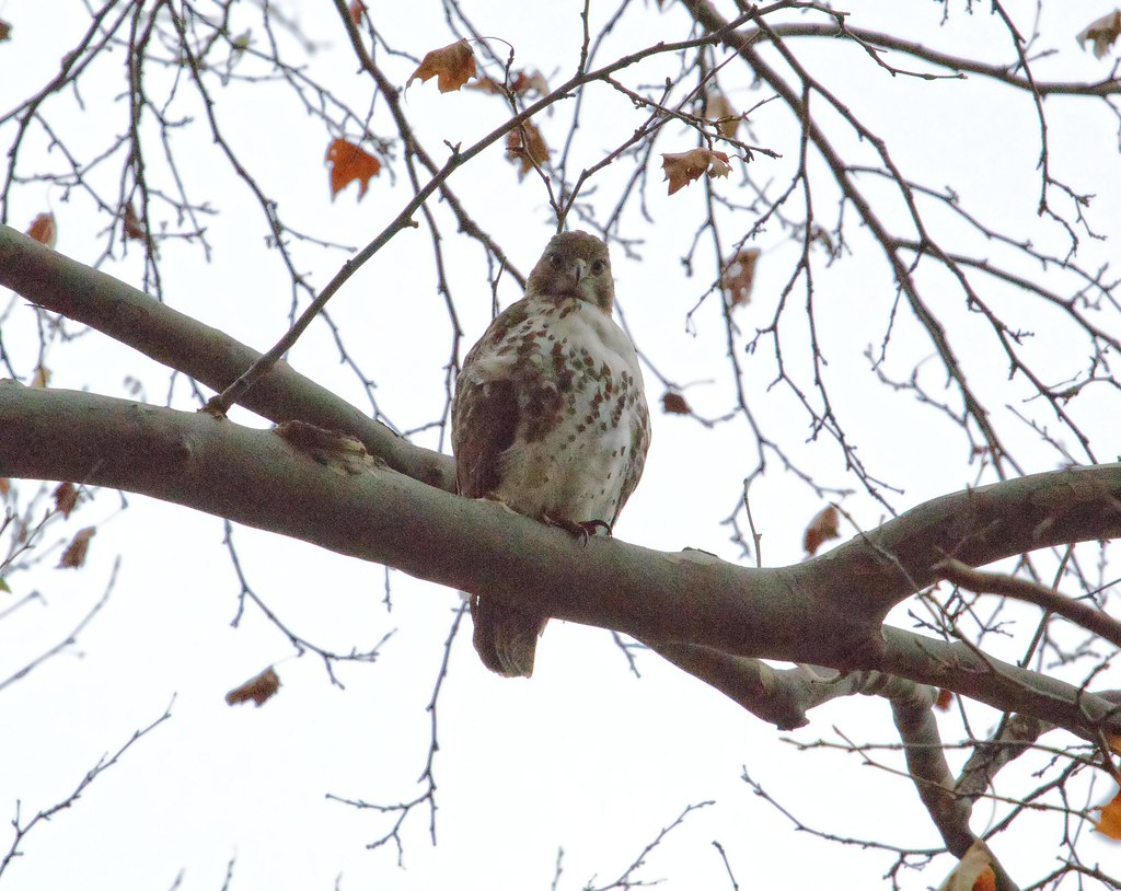 Juvenile red-tail on Thanksgiving