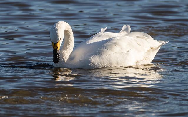 Bewick Swan 071__79