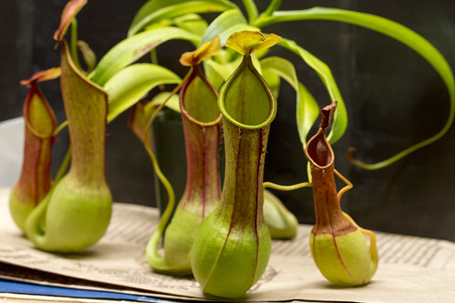 N. graciliflora