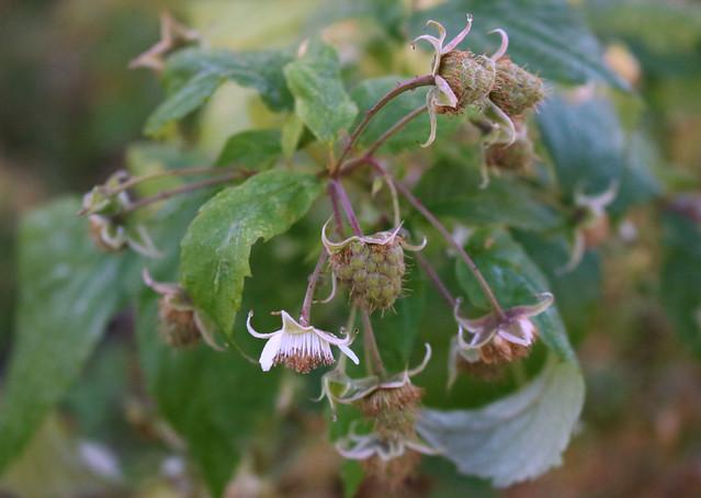 one raspberry flower and a dozen green berries