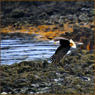 bald eagle . . . | by dragonflydreams88