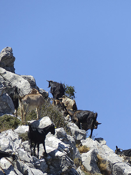 Chèvres 2