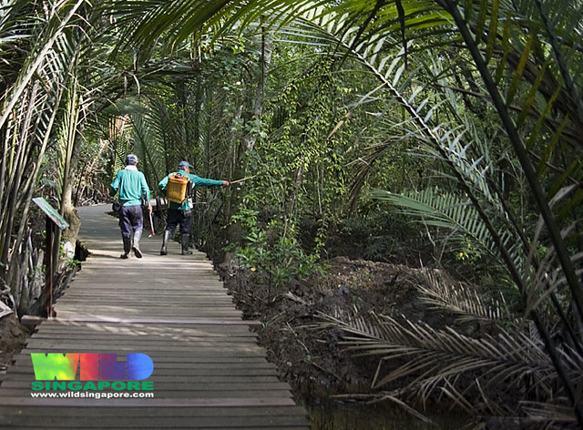 Chemical spraying for mosquitoes at Chek Jawa in the mangroves along the Mangrove Boardwalk