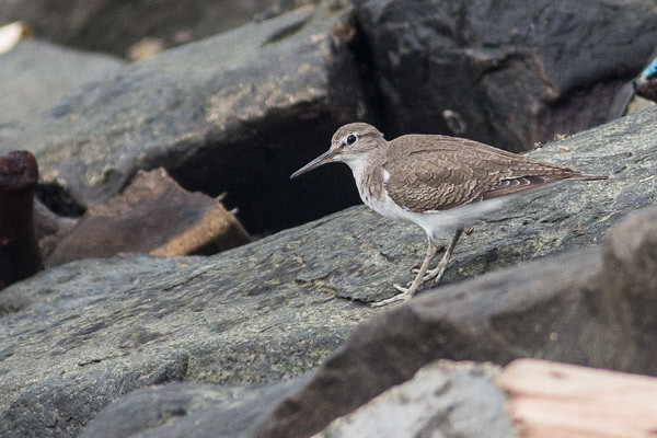 Grey-tailed Tattler or Common Sandpiper