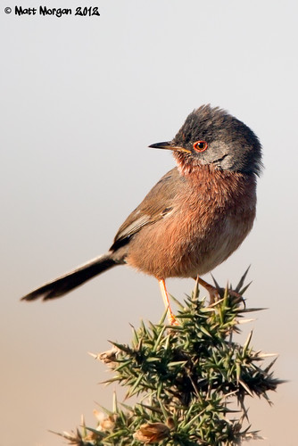 Dartford Warbler | by mattmorganphotos