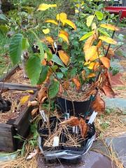 Ostrya virginiana (American Hophornbeam) group planting