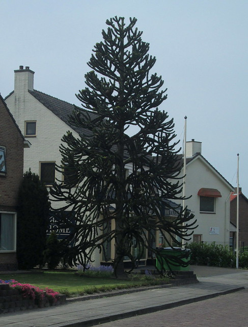 Monkey Puzzle Tree, Marum