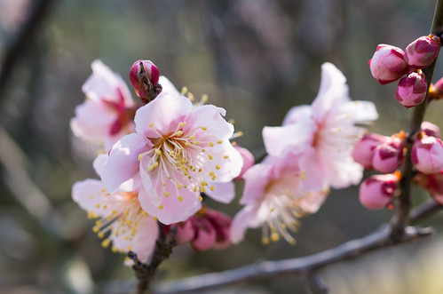 早咲きの梅 1