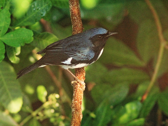 Black-throated Blue Warbler 2-20131023