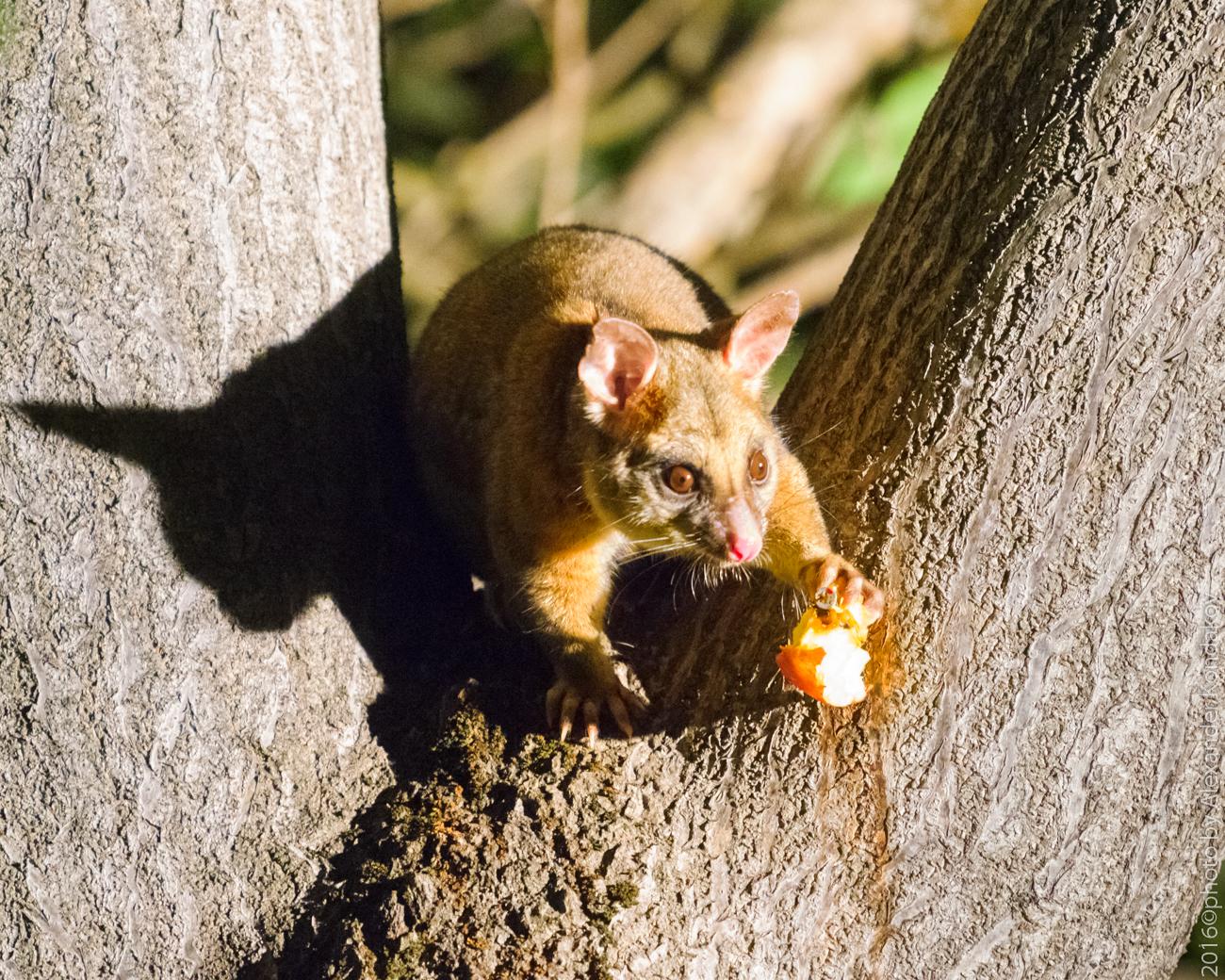 Phalangeridae Australia