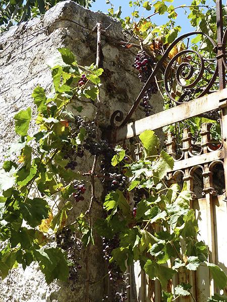 vigne sur vieille grille à Filoti