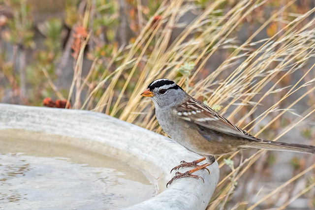 White-throated-Sparrow--29-7D2-102916