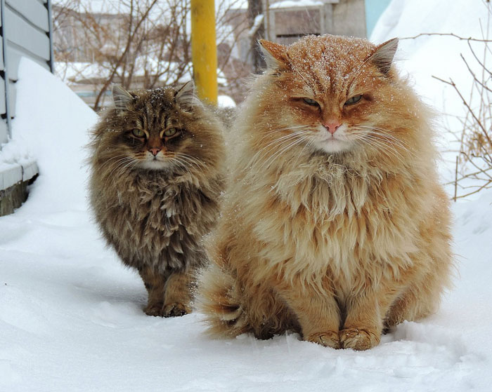 Суровые сибирские котики - ПоЗиТиФфЧиК - сайт позитивного настроения!