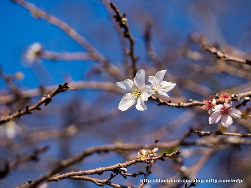 Winter cherry #02