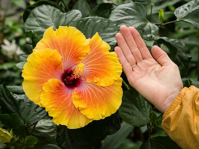 huge Hibiscus!