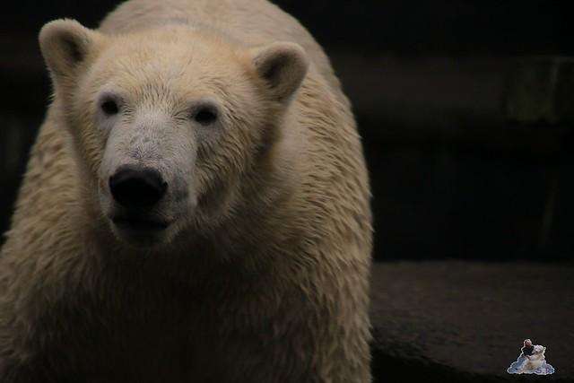 Eisbär Fiete im Zoo Rostock 05.11.2016 092