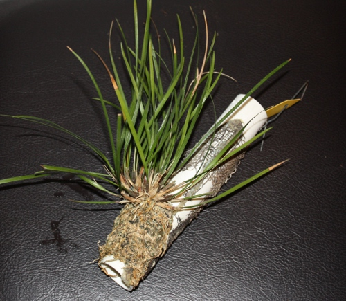 den_stenophyllum