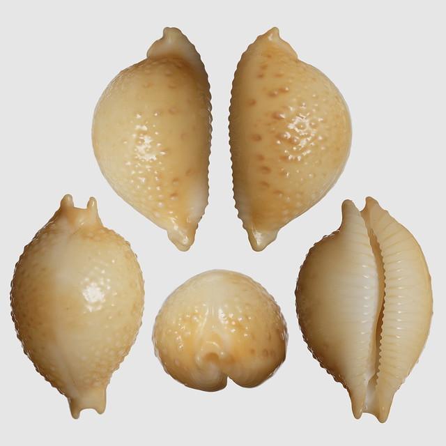 Pustularia cicercula cicercula (Linnaeus, 1758)  - Marc M. 30811179910_a44e50d1d4_z