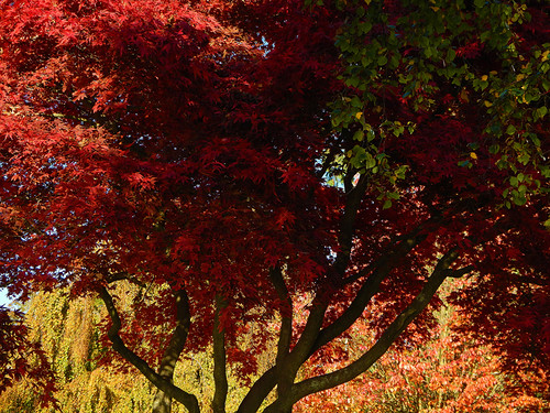 Red Maple Tree in Stanley Park