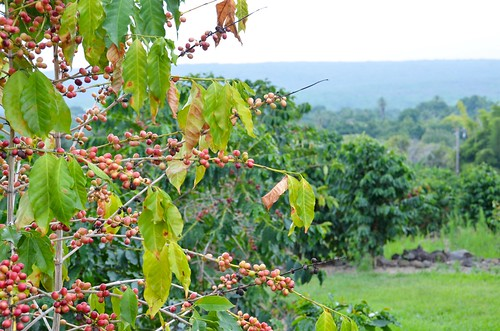 Kona Coffee Plants