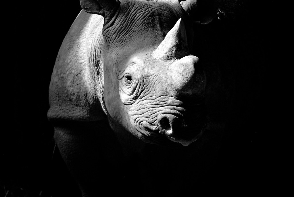 """Exposed"" Kifaru the Black Rhino."