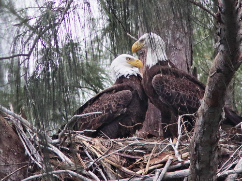 Bald Eagles 09093  touching beaks 20161128