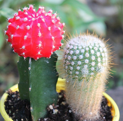 The Quot Ruby Ball Quot Cactus Is Usually A Bright Red Gymnocalyci