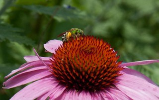 Agapostemon virescens on Echinacea LA 6-27-13 9237 lo-res | by danceyoumonster