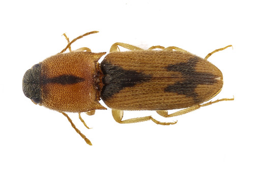 マダラチビコメツキ Prodrasterius agnatus (Candèze, 1873)-1-1