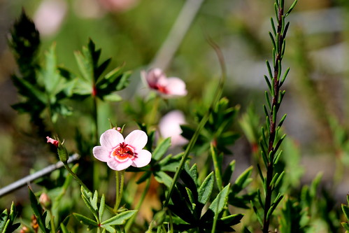 Pelargonium incarnatum in habitat