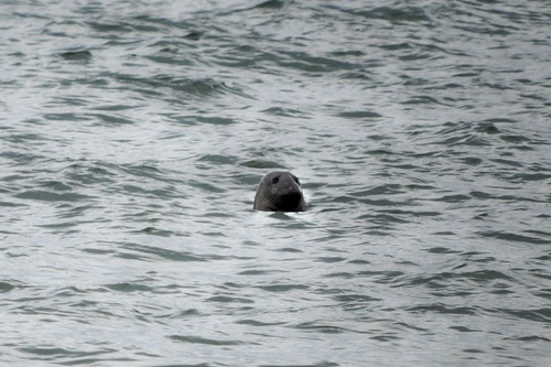Lifer Grey Seal