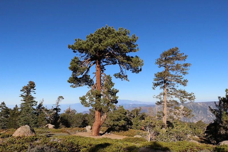 View of tall pines looking west on the San Bernardino Peak Trail