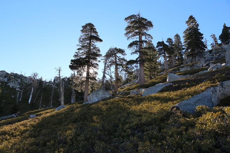 Morning light through tall sparse pines on the San Bernardino Peak Trail