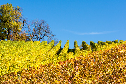 Autumn Colors in the Vineyards