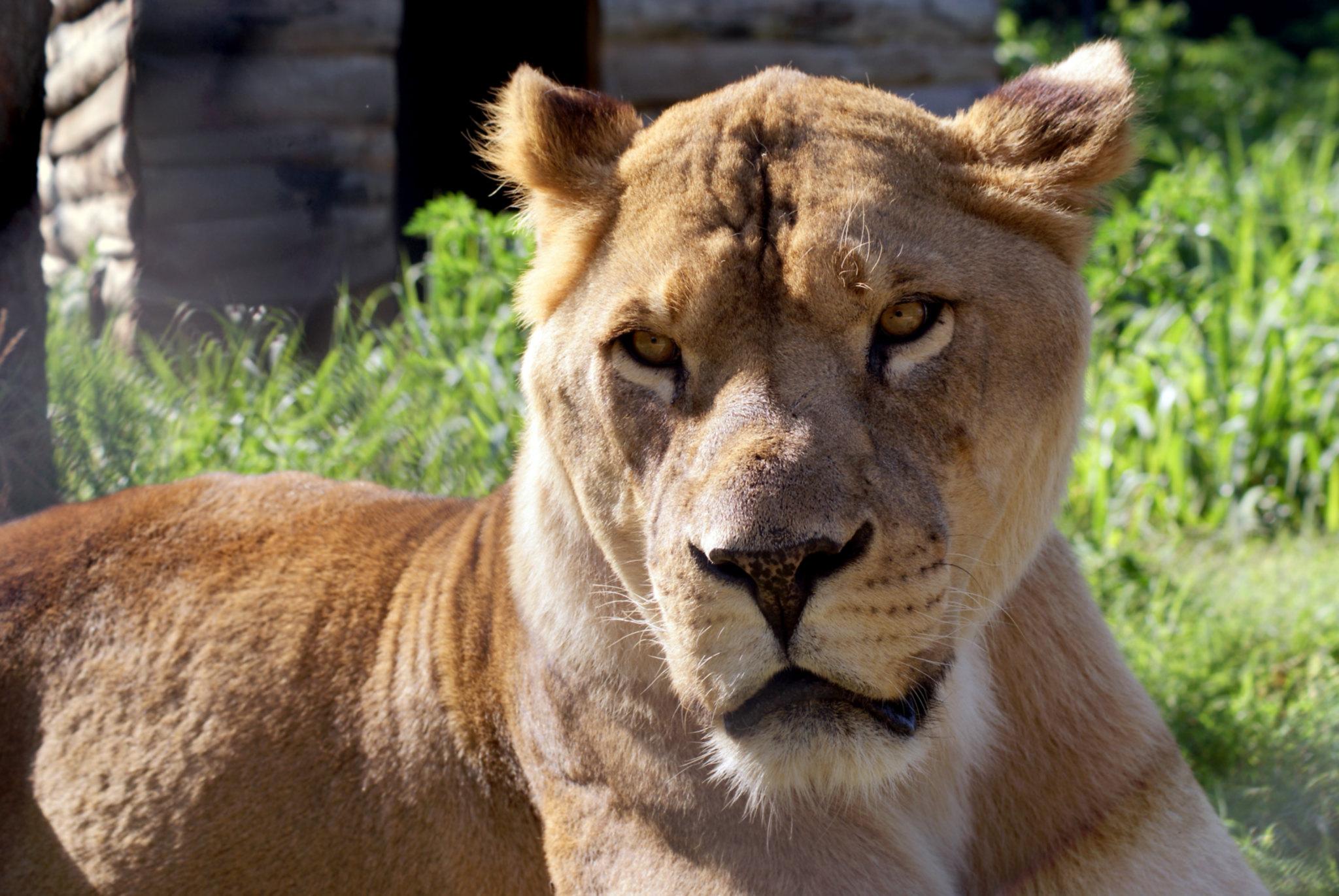 Sebastian Lion | Carolina Tiger Rescue