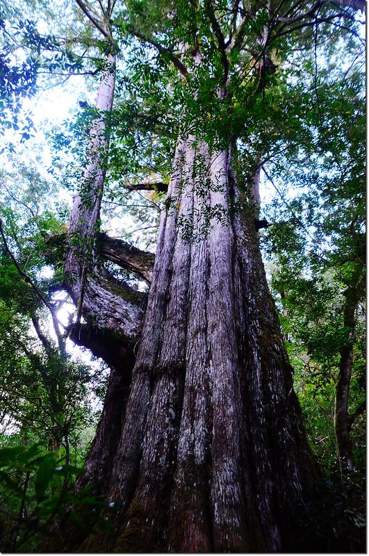司馬庫斯巨木群巨木 2