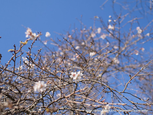 Winter cherry #04