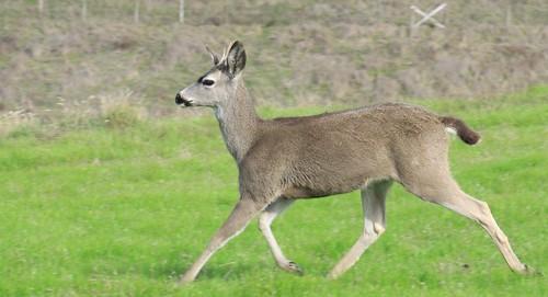 Mule Deer (Black-tailed)
