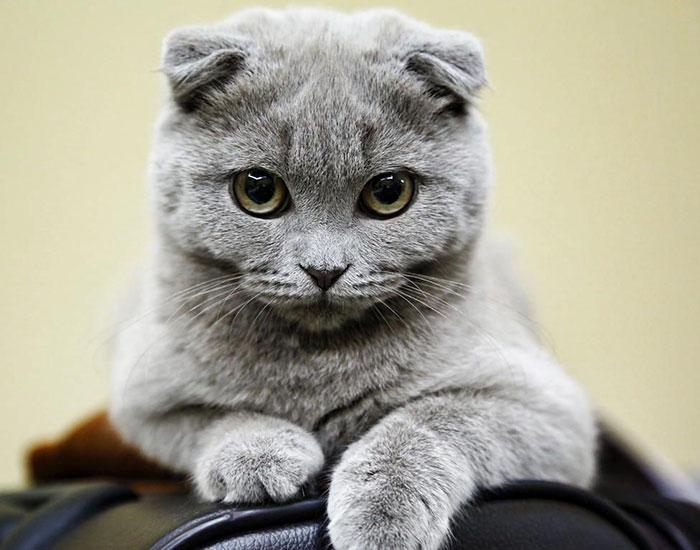 Шотландская вислоухая кошка - ПоЗиТиФфЧиК - сайт позитивного настроения!