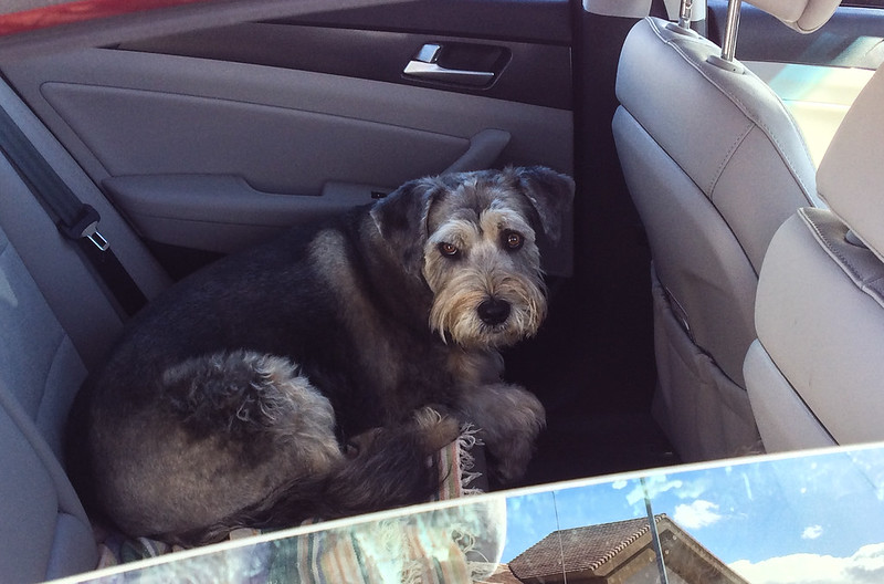 Dog Waiting in Car, Back Seat
