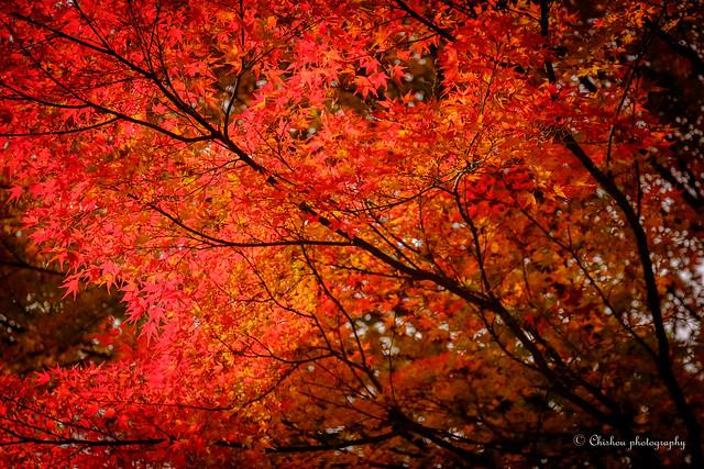 紅葉狩り~leaf peeping (2016)