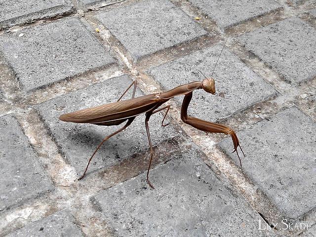 Brown European Mantis