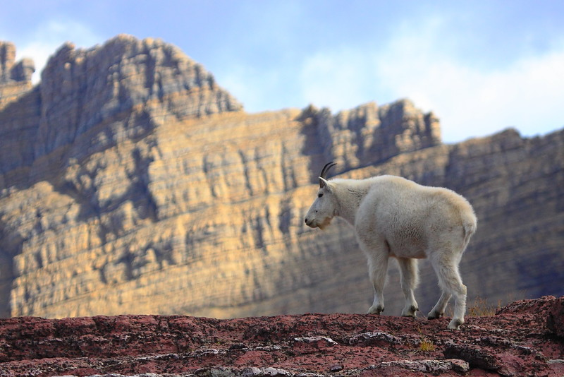 IMG_3014 Mountain Goat on Sperry Glacier Trail, Glacier National Park